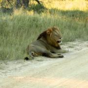 LionKrugerParkMovie